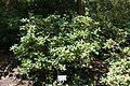 Rhododendron forrestii - VanDusen Botanical Garden - Vancouver, BC - DSC07311.jpg