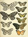 Rhopalocera Malayana BHL9346056.jpg