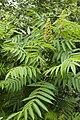 Rhus typhina sables-bracheux-beauvais 60 20062008 2.jpg