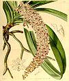 Rhynchostylis retusa (as Saccolabium guttatum) - Curtis' 70 (N.S. 17) pl. 4108 (1844).jpg