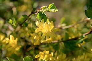 Ribes aureum - Image: Ribes aureum flowers