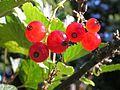 Ribes rubrum20140705 106.jpg