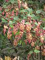 Ribes x beatonii (13620521395).jpg