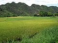 Rice fields (7357461860).jpg