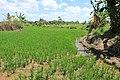 Rice fields of Bohol 2017 c.jpg