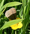 Ringlet Butterfly (Aphantophus hyperantus) - geograph.org.uk - 868406.jpg