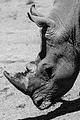 Rinoceronte (8496816192).jpg