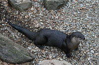 This river otter at the National Zoo takes a break from swimming.