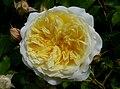Rosa 'The Pilgrim' J3.jpg