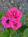 """Rosa """"Blue Parade"""" o POULbol. 03.jpg"""