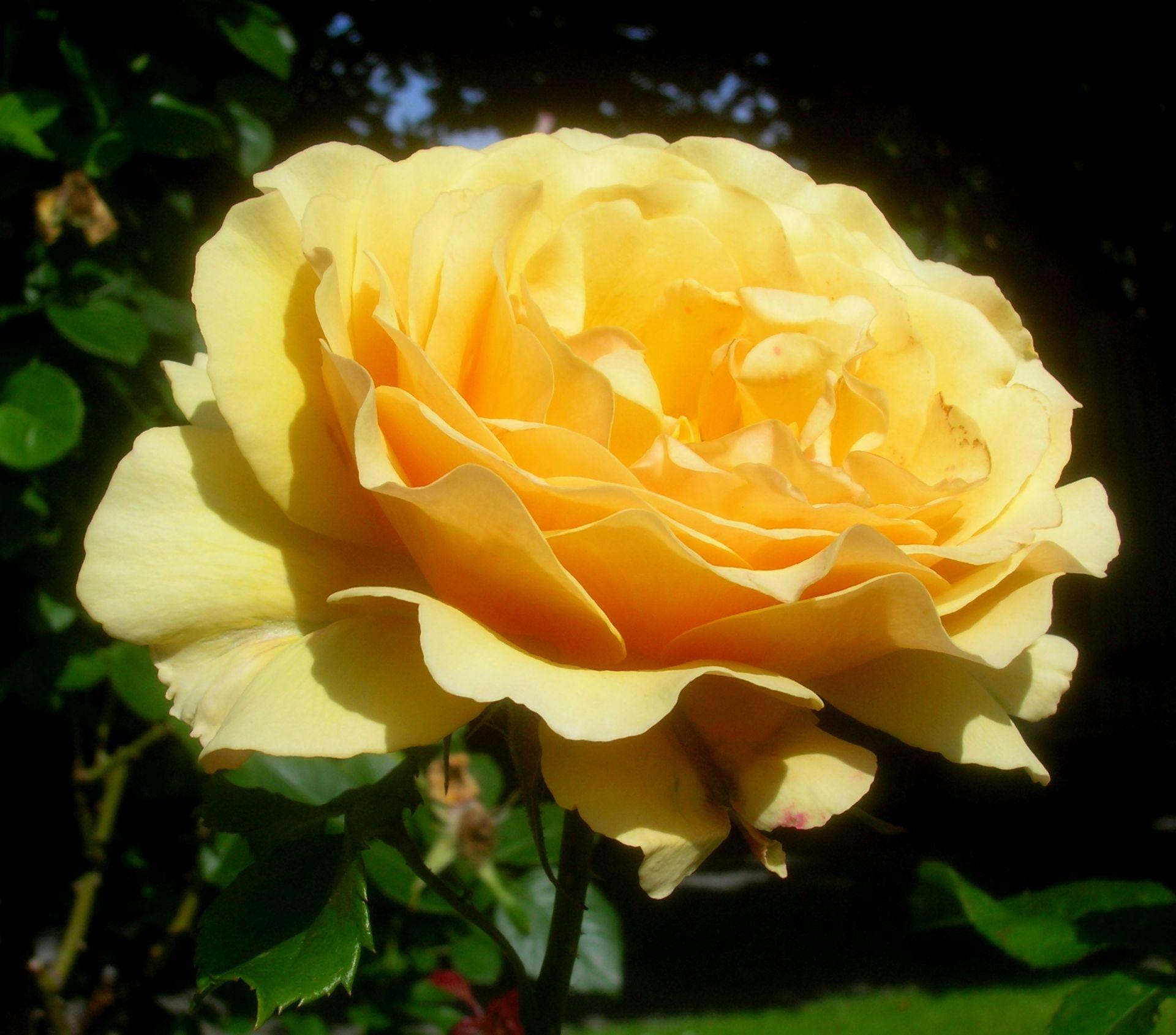Rosa cultivars - Wikimedia Commons