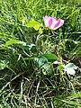 Rosa gallica sl13.jpg