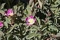 Rosa glauca inflorescence (22).jpg