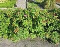 Rosa rugosa plant (04).jpg