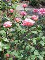 Rosa sp.274.jpg