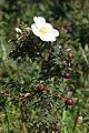 Rosa spinosissima inflorescence (59).jpg