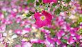 Rose, バラ, (15848431981).jpg