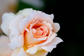 Rose, Apricot Nectar - Flickr - nekonomania.jpg