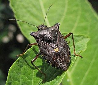 Pentatominae subfamily of insects