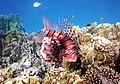 Rotfeuerfisch, lionfisch (рыба-зебра, рыба-лев). DSCF1363BE.jpg