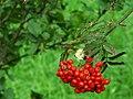 Rowan berries, Corrog Wood - geograph.org.uk - 973332.jpg