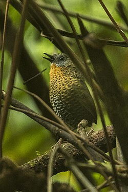 Rufous-throated Wren-Babbler - Eaglenest - Arunachal Pradesh, India.jpg