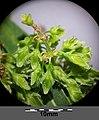Rumex hydrolapathum sl12.jpg
