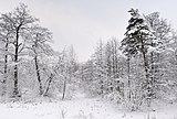 Russia. Moscow Region. Winter wood, lake Kratovskoe area.JPG