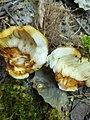 Russula foetens 91759904.jpg