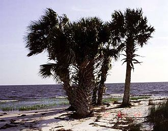 Sabal palmetto - Image: Sabal palmetto 2