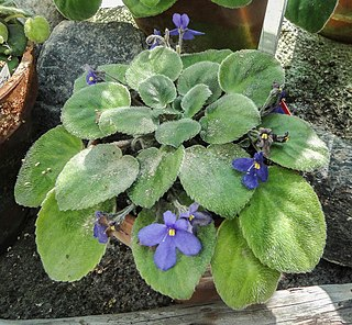 <i>Streptocarpus</i> sect. <i>Saintpaulia</i> section of a genus of flowering plants in the family Gesneriaceae