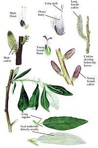 Salix alaxensis - summer.jpg