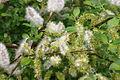 Salix myrsinifolia (Schwarz-Weide) IMG 4636.JPG