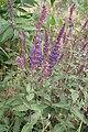 Salvia nemorosa kz01.jpg
