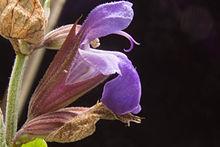 Salvia officinalis Closeup.jpg