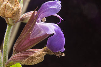 Salvia officinalis - Salvia officinalis flower closeup