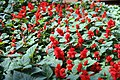 Salvia splendens Red Hot Sally 1zz.jpg
