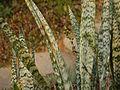 Sansevieria trifasciata (5592657338).jpg