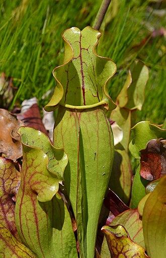 Sarracenia purpurea - Image: Sarracenia purpurea Vertical