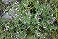 Satureja sp. Lamiaceae 02.jpg