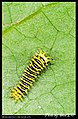 Saturniidae caterpillars (4705703244).jpg