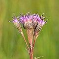 Saussurea alpina esthonica - Eesti soojumikas - Niitvälja soo2 (cropped).jpg