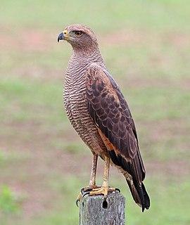 Savanna hawk species of bird