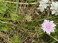 Scabiosa columbaria (4).JPG