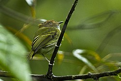 Scale-crested Pygmy-Tyrant - South Ecuador S4E8674 (16253351023).jpg