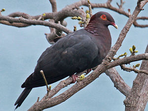Scaly-naped pigeon - in Puerto Rico