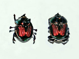 Phanaeus demon Species of beetle