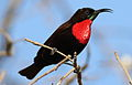 Scarlet-chested sunbird, Chalcomitra senegalensis, at Lake Chivero, Harare, Zimbabwe - male (21878464261).jpg