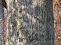 Scarlet Oak (31025652572).jpg