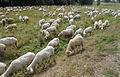 Schafe 4865.jpg